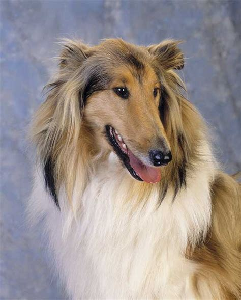 lassie breed pin lassie collie on