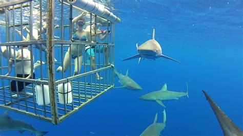 cage dive with sharks shark cage diving