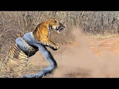giant anaconda attacks tiger animal fight python  tiger  jaguar real fight part  youtube