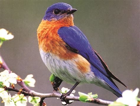 wallpaper blue birdcage eastern bluebirds wallpaper