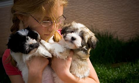 dogs for sale in az havanese dogs arizona breeds picture