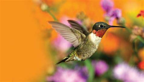 Humming Bird hummingbirds birds unlimited birds unlimited