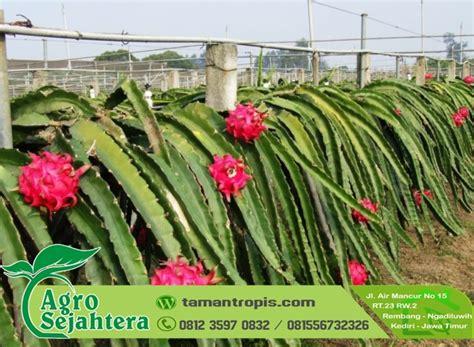 Bibit Buah Naga Jakarta jual bibit buah naga ungu