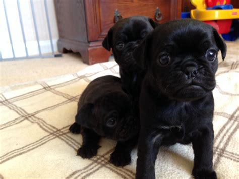 black pug puppies for sale in wisconsin ready for adoption black and coonhound labrador retriever breeds picture