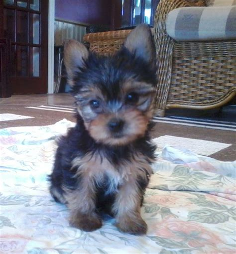yorkie puppies for sale in michigan cheap terrier uk dogs in our photo