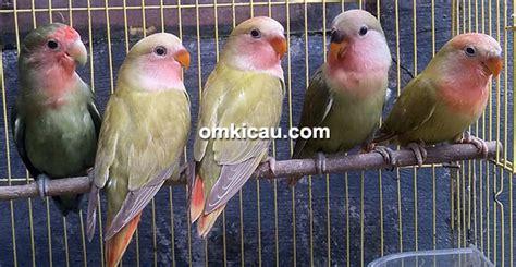 Jual Anakan Arwana Di Surabaya tj bf surabaya hanya jual anakan lovebird saat butuh uang