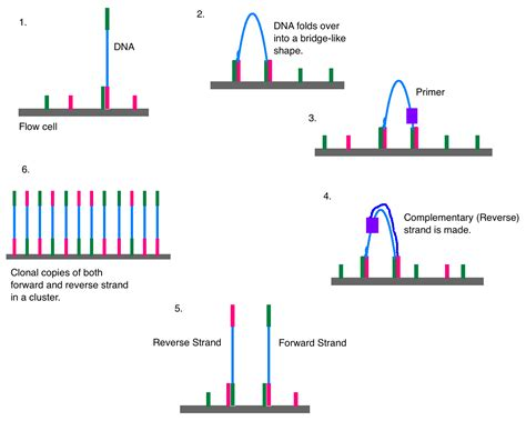 illumina gene sequencing illumina dye sequencing