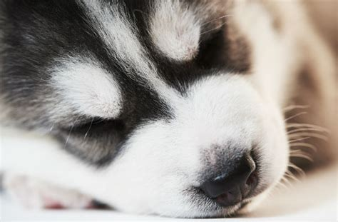 husky puppy sleeping how much do puppies sleep american kennel club
