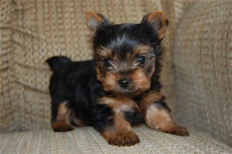teacup yorkies for sale in cape town terrier puppies yorkies dogs and puppies 64959710 junk mail