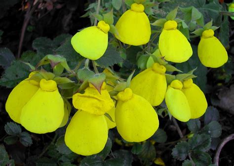 yellow slipper flower calceolaria tomentosa the yellow slipper flower