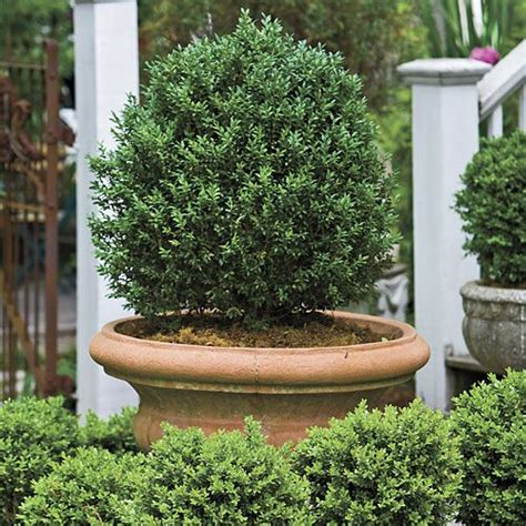Boxwoods In Planters by 1000 Ideas About Boxwood Planters On Outdoor