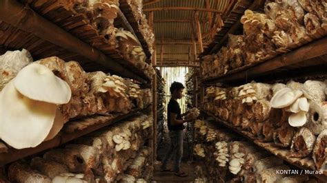 Lu Jamur Di Surabaya jamur tiram budidayanya menjanjikan 1