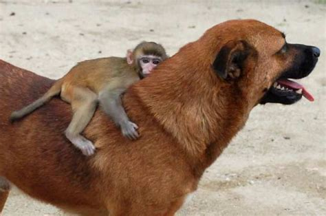 monkey adopts puppy your morning adorable adopts orphaned macaque monkey in thailand l a unleashed