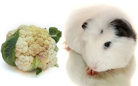 vegetables guinea pigs can eat can guinea pigs eat cauliflower safely and how much is