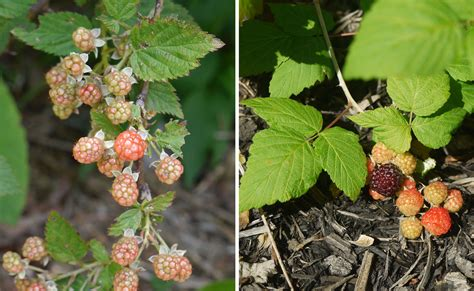 raspberry identification blackberry black raspberry identify that plant