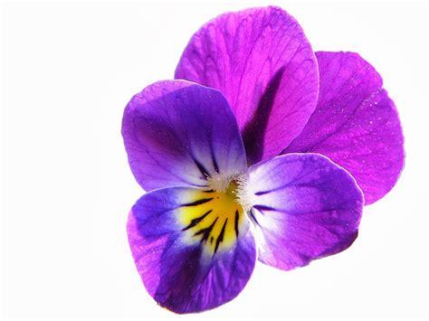 Fleur Violette by Fleur Pensee Sauvage Violette Se Soigner Gr 226 Ce 224 La Nature