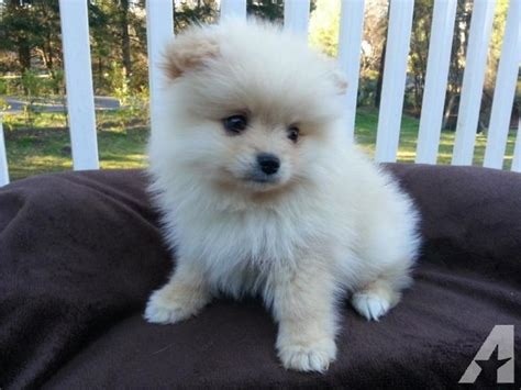 small white pomeranian puppies small like teacup white baige pomeranian puppy 7 weeks for sale in snohomish