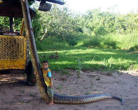 machos adultos pueden llegar hasta los 7 metros de largo y poseer mas anaconda gigante animales muy raros dogguie