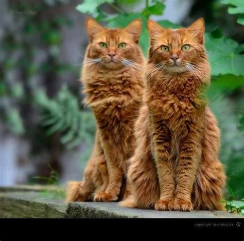 twin cats 12 best images about twin cats on pinterest calico cats