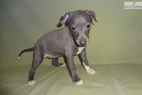 italian greyhound puppies italian greyhound puppy for sale near springfield missouri 125e04b1 c101