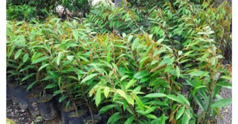 Benih Durian Udang Merah cita tani nursery ns0154959 benih durian musang king