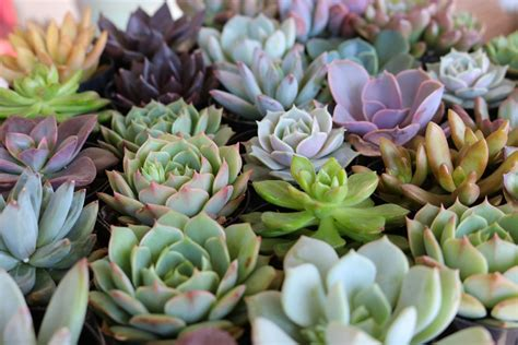 succulents plants 2 5 quot rosette succulents wedding succulent favors for