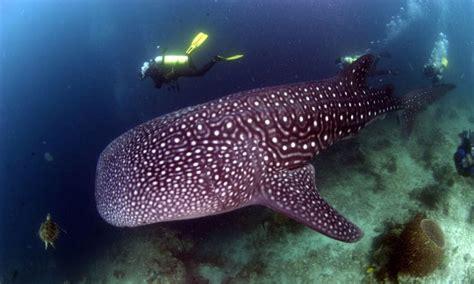 dive in sipadan diving in sipadan island sabah malaysian borneo south