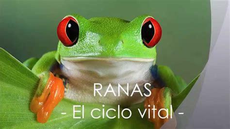 imagenes de ranas blancas ranas el ciclo vital youtube