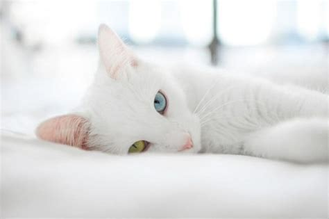 colored white out white cat two different color white out