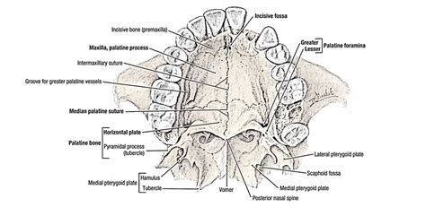 palatine bone easy notes on palatine bone learn in just 4 minutes
