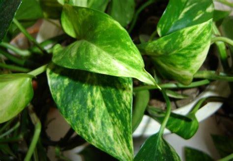 piante sempreverdi da interno piante ricanti sempreverdi idee per il design della casa