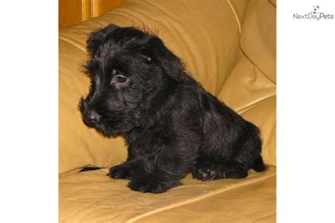 scottie puppies for sale scottie dogs for adoption in uk breeds picture