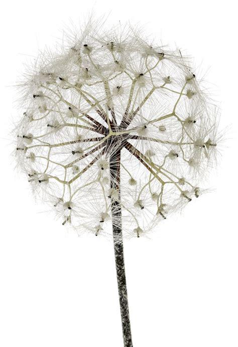 fiori di loto riccione dandelion fior di loto riccione