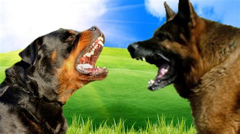 german shepherd vs rottweiler rottweiler vs german shepherd www pixshark images galleries with a bite