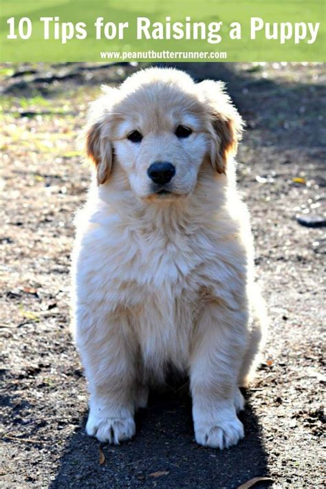 puppy tips for the week my top 10 tips for raising a golden retriever puppy