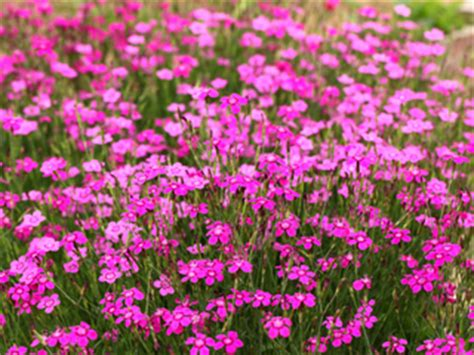 Plantes Tapissantes Sans Entretien by Plantes Couvre Sol Pour Le Soleil Pour L Ombre Arbustes