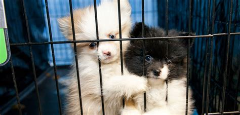 ways   involved   pet store puppies day