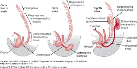 nephric section chapter 38 urology current diagnosis treatment