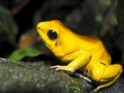 imagenes de animales venenosos sapos coloridos e venenosos youtube