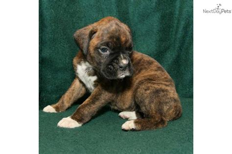 boxer puppies for sale michigan pin brindle boxer puppies for sale in michigan on