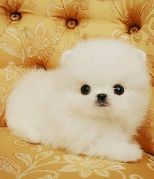 everything about pomeranians everything about your pomeranian my dogs