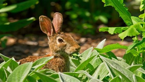 Keeping Rabbits Out Of Garden by Safely Keep Rabbits Out Of The Garden Gracious Gardening