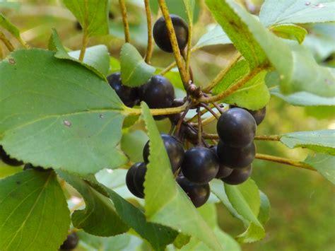 dark berries david whelan