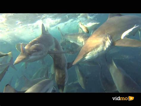 scary sharks   boat vidmo