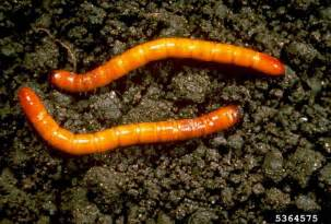 How To Get Rid Of Garden Pests - wireworm damage information on the control of wireworms