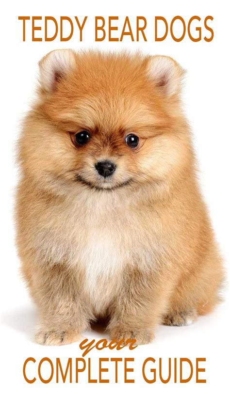 what is a teddy puppy pomeranian puppy with teddy haircut haircuts models ideas
