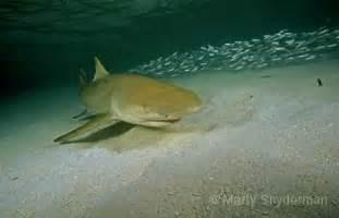 lemon shark shark research institute
