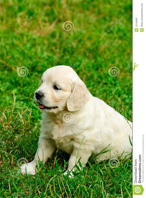 golden retriever grass golden retriever puppy in the grass royalty free stock photography image 15149497
