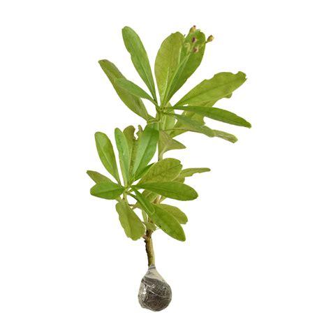 Obat Ginseng tanaman som jawa ginseng jawa bibitbunga
