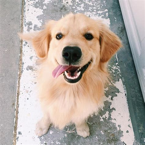 how often should i feed my golden retriever puppy 25 best ideas about golden retrievers on golden golden retriever